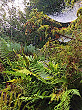 a close of of undergrowth of ferns and foliage with two laden cobwebs of dew